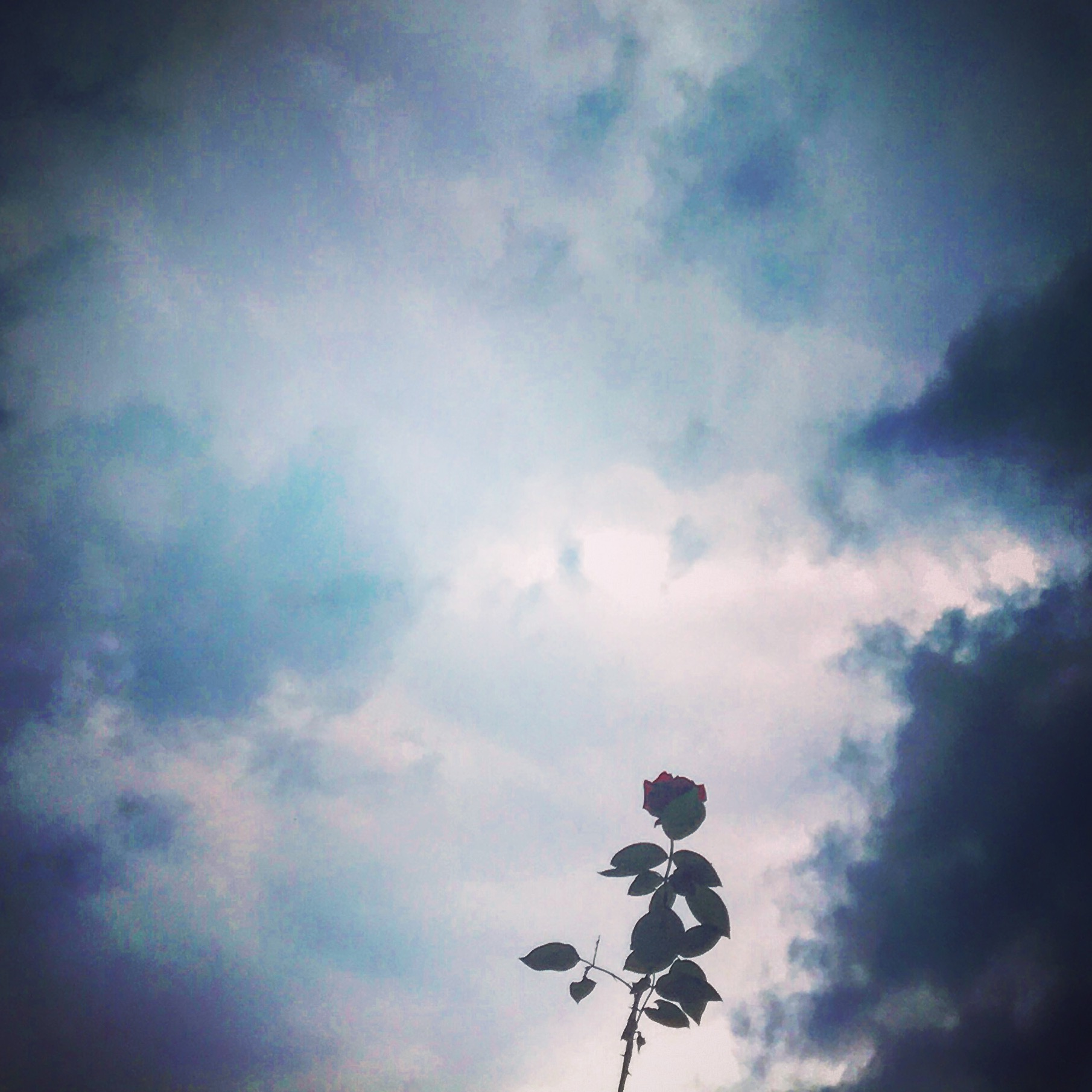雨雲と薔薇